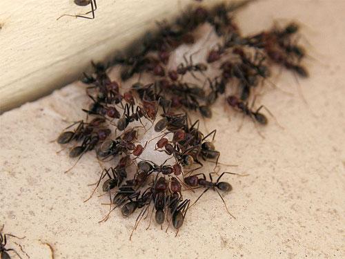 приманка для муравьев из раствора борной кислоты