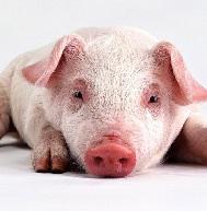 Отравления у свиней