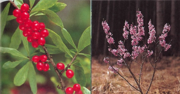 Отравление вызывают волчьи ягоды