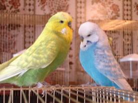 Отравление попугая