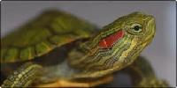 Укус красноухой черепахи