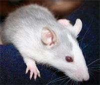 Укус крысы