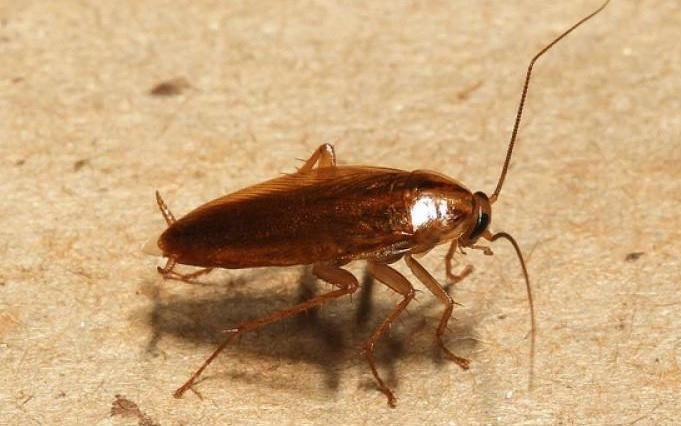 Тараканы: укусы, как потравить, отравление ядом от тараканов