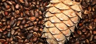 Отравление кедровыми орехами