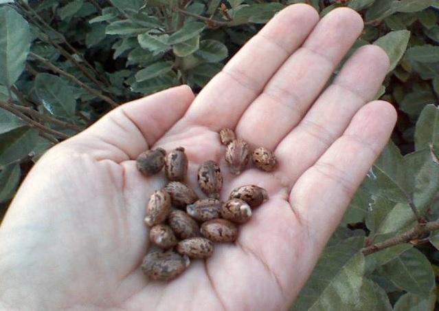 Отравление семенами клещевины