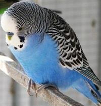Отравление попугайчика