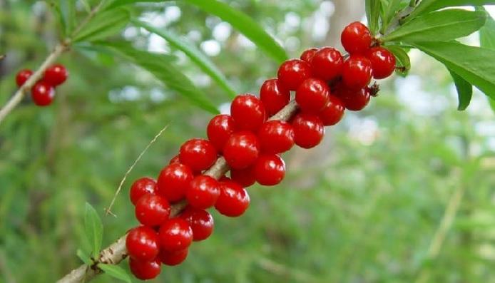 Отравление волчьими ягодами