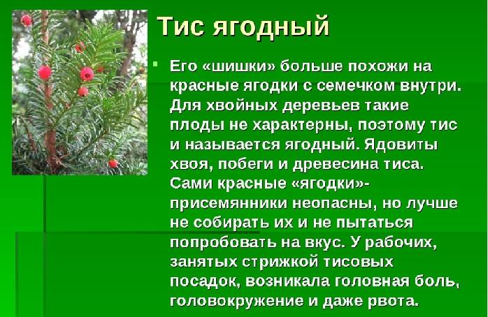 Тис содержит вещество таксин