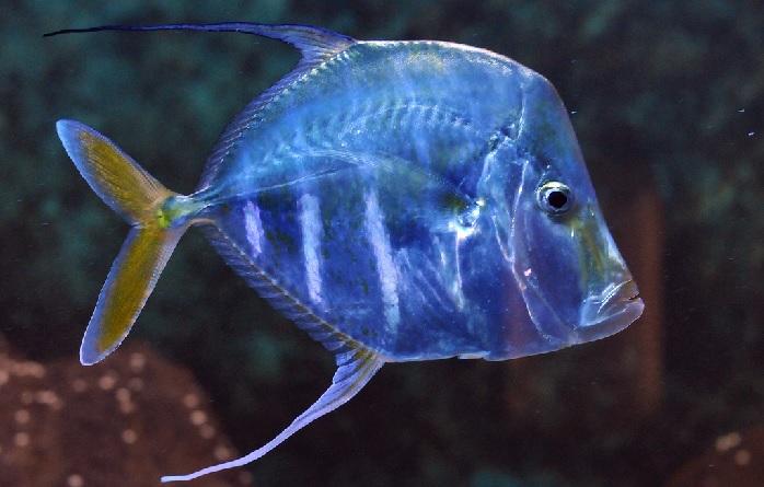 Вомер ядовитая морская рыба