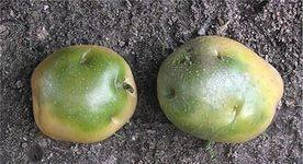 Зеленая картошка
